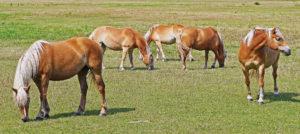 Weide auf Usedom, Pferde, Haflinger